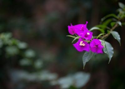 Tropical bouganvillea